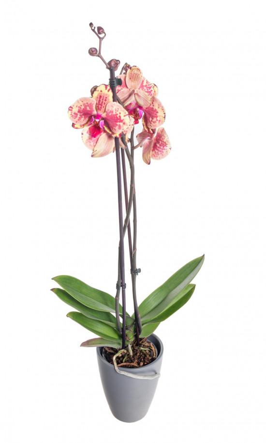 Orchidej Můrovec, Phalaenopsis Isa, 2 výhony, žluto - vínová-14896