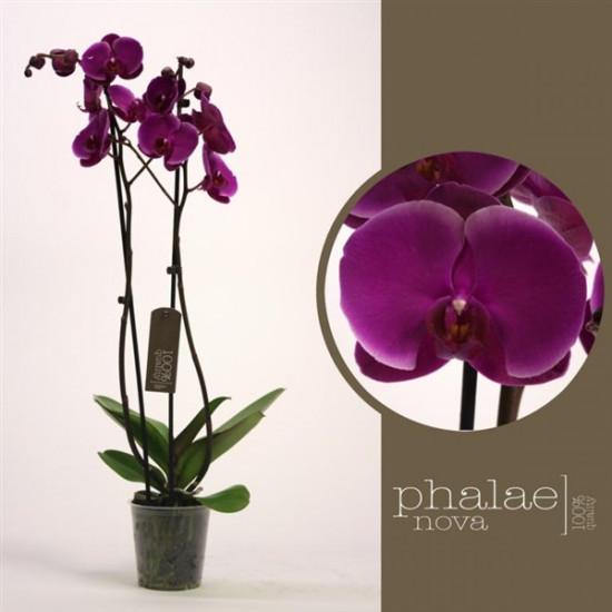 Orchidej Můrovec, Phalaenopsis Joyride, 2 výhony, vínová-3679