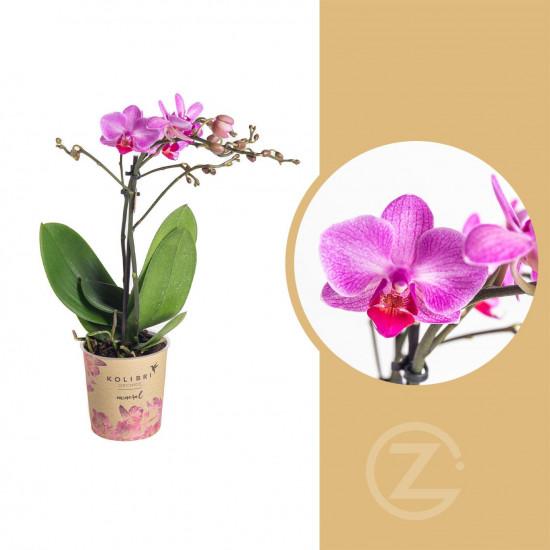 Orchidej Můrovec, Phalaenopsis Kolibri Basel, 2 výhony, tmavě růžová