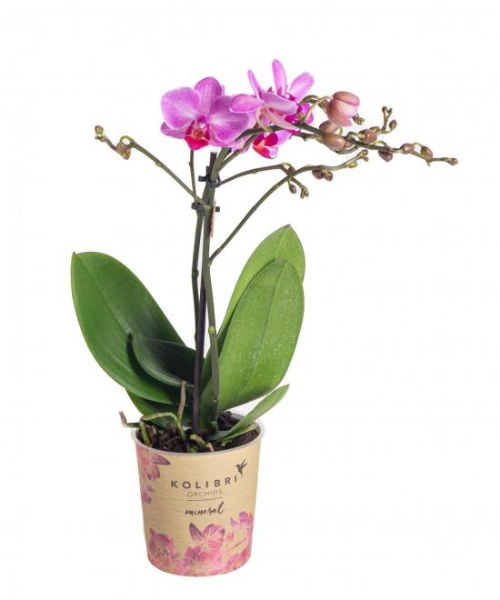 Orchidej Můrovec, Phalaenopsis Kolibri Basel, 2 výhony, tmavě růžová-13774