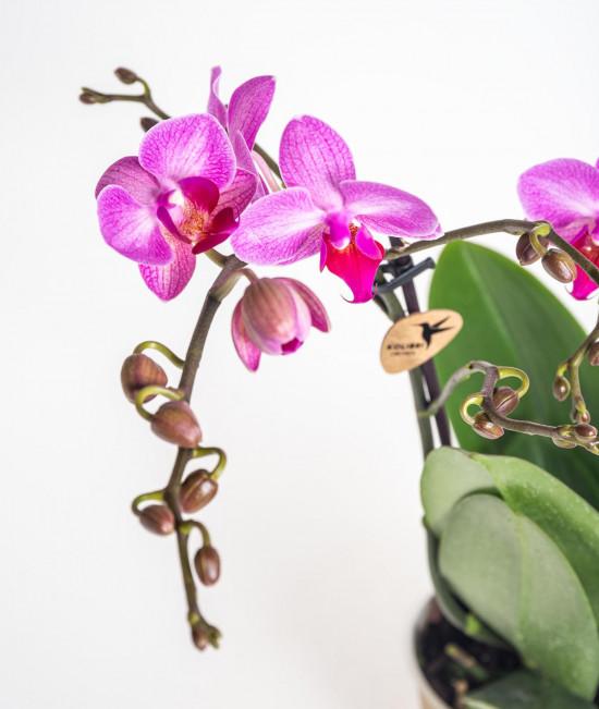 Orchidej Můrovec, Phalaenopsis Kolibri Basel, 2 výhony, tmavě růžová-13775