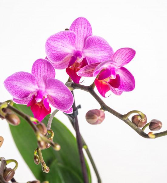Orchidej Můrovec, Phalaenopsis Kolibri Basel, 2 výhony, tmavě růžová-13776