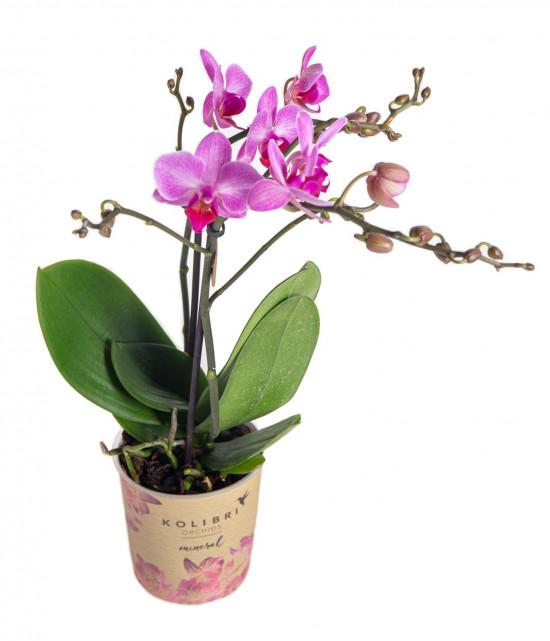 Orchidej Můrovec, Phalaenopsis Kolibri Basel, 2 výhony, tmavě růžová-13778