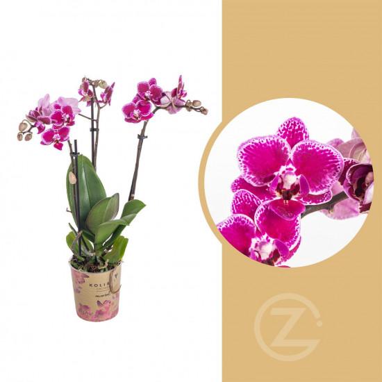Orchidej Můrovec, Phalaenopsis Kolibri Bolivia, 2 výhony, vínovo - bílá