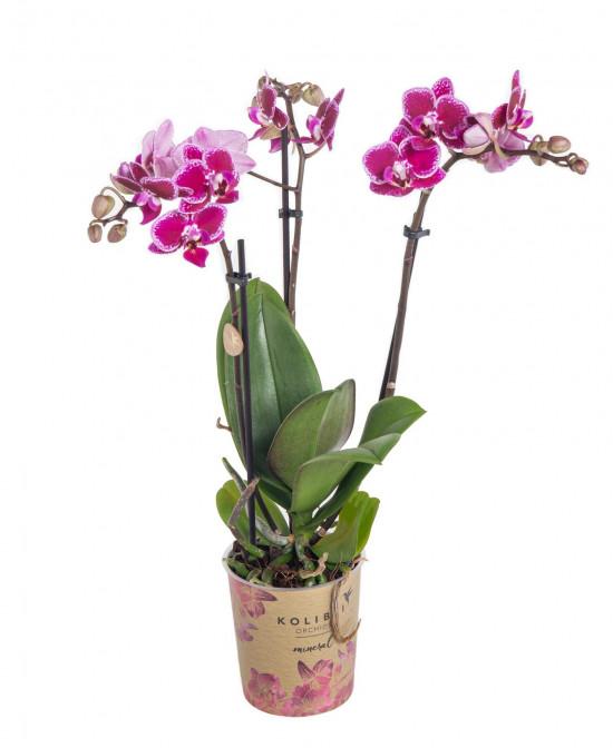 Orchidej Můrovec, Phalaenopsis Kolibri Bolivia, 2 výhony, vínovo - bílá-11985
