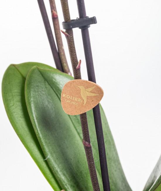 Orchidej Můrovec, Phalaenopsis Kolibri Bolivia, 2 výhony, vínovo - bílá-11986