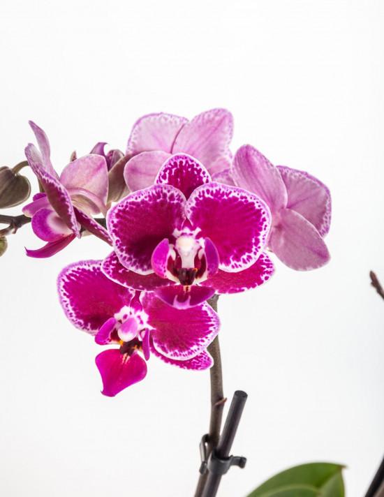 Orchidej Můrovec, Phalaenopsis Kolibri Bolivia, 2 výhony, vínovo - bílá-11987