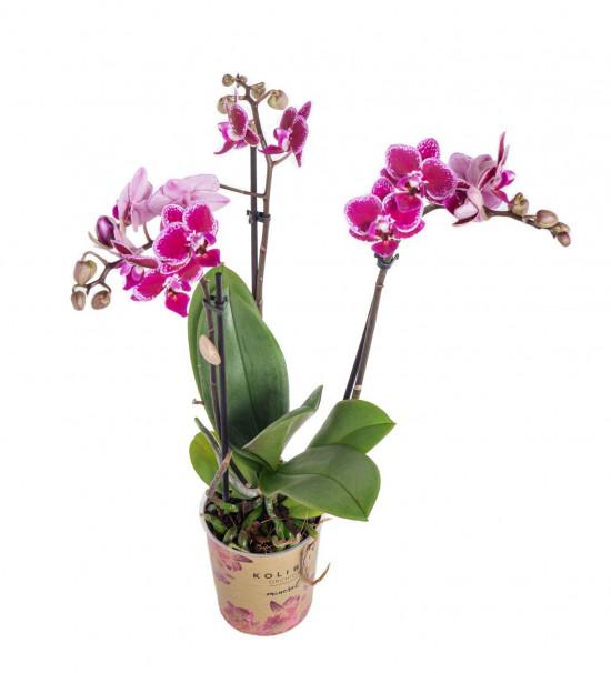 Orchidej Můrovec, Phalaenopsis Kolibri Bolivia, 2 výhony, vínovo - bílá-11988