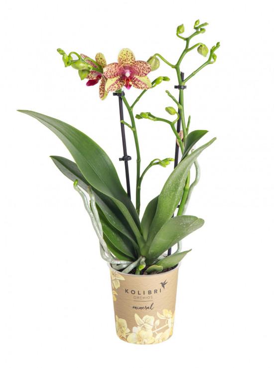 Orchidej Můrovec, Phalaenopsis Kolibri Canada, 2 výhony, žluto - červená-13758