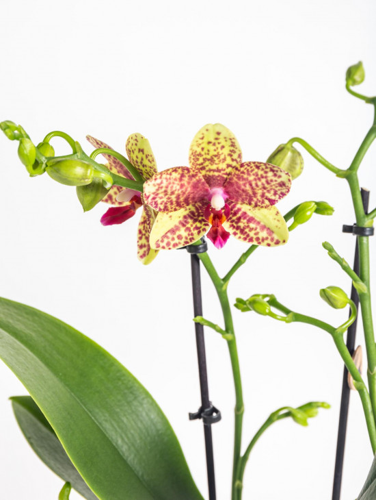 Orchidej Můrovec, Phalaenopsis Kolibri Canada, 2 výhony, žluto - červená-13759