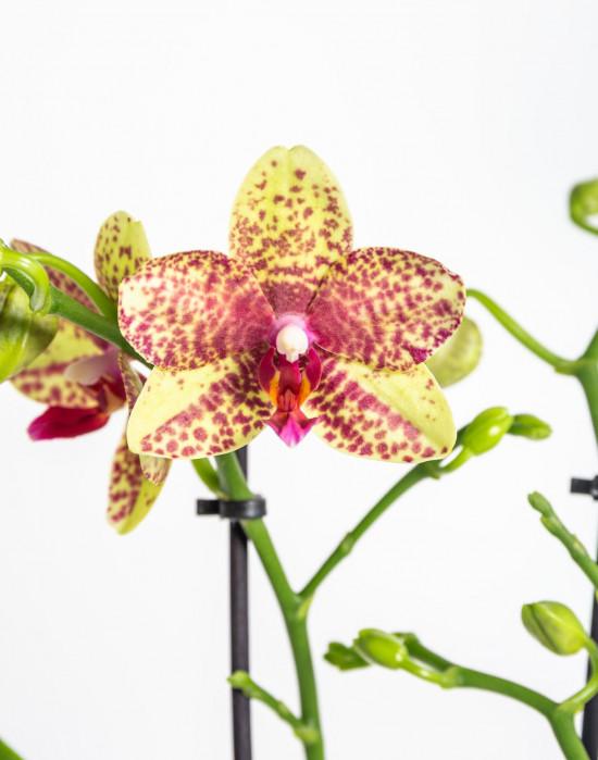 Orchidej Můrovec, Phalaenopsis Kolibri Canada, 2 výhony, žluto - červená-13760
