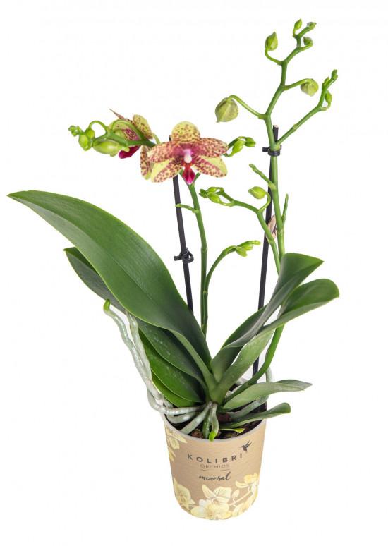 Orchidej Můrovec, Phalaenopsis Kolibri Canada, 2 výhony, žluto - červená-13761