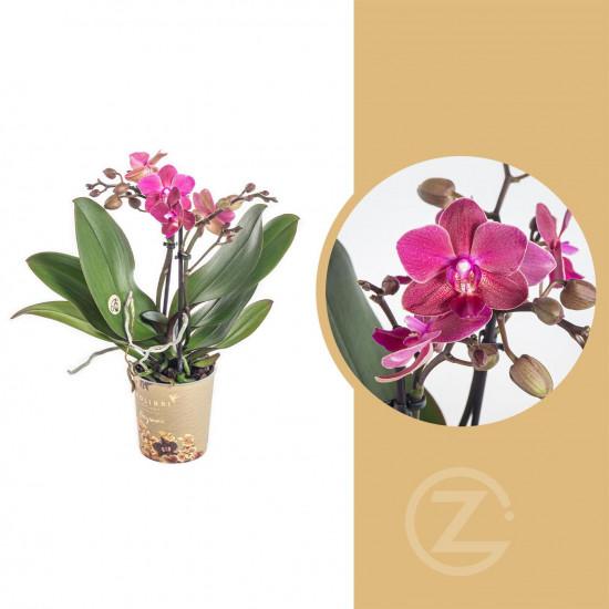 Orchidej Můrovec, Phalaenopsis Kolibri Fragrance, 2 výhony, fialová