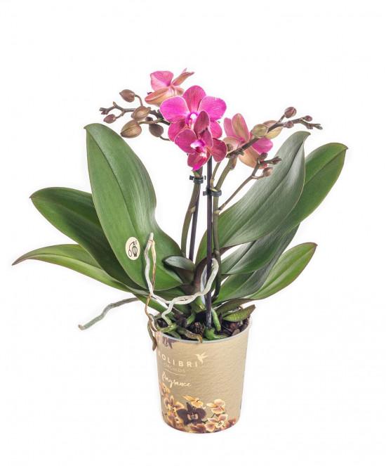 Orchidej Můrovec, Phalaenopsis Kolibri Fragrance, 2 výhony, fialová-11079
