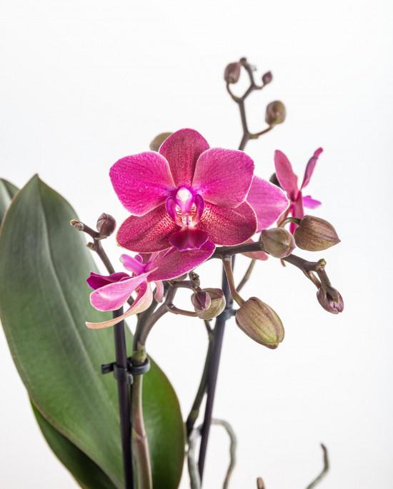 Orchidej Můrovec, Phalaenopsis Kolibri Fragrance, 2 výhony, fialová-11080