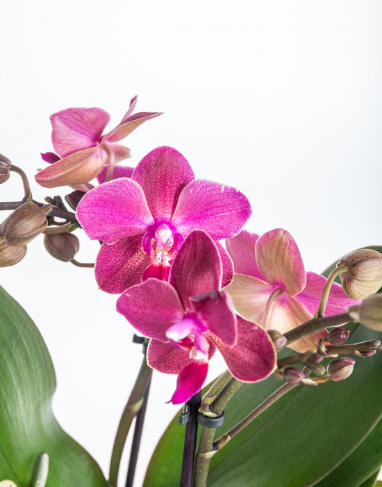 Orchidej Můrovec, Phalaenopsis Kolibri Fragrance, 2 výhony, fialová-11081