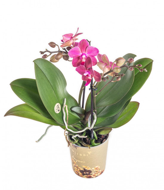 Orchidej Můrovec, Phalaenopsis Kolibri Fragrance, 2 výhony, fialová-11082
