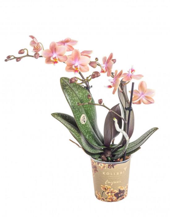 Orchidej Můrovec, Phalaenopsis Kolibri Fragrance, 2 výhony, lososová-11073
