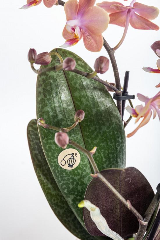 Orchidej Můrovec, Phalaenopsis Kolibri Fragrance, 2 výhony, lososová-11074