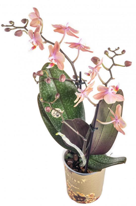 Orchidej Můrovec, Phalaenopsis Kolibri Fragrance, 2 výhony, lososová-11075