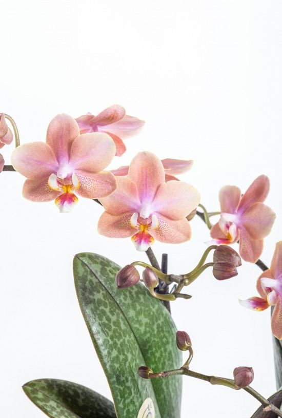 Orchidej Můrovec, Phalaenopsis Kolibri Fragrance, 2 výhony, lososová-11076