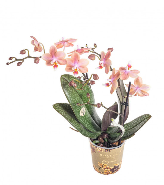 Orchidej Můrovec, Phalaenopsis Kolibri Fragrance, 2 výhony, lososová-11077