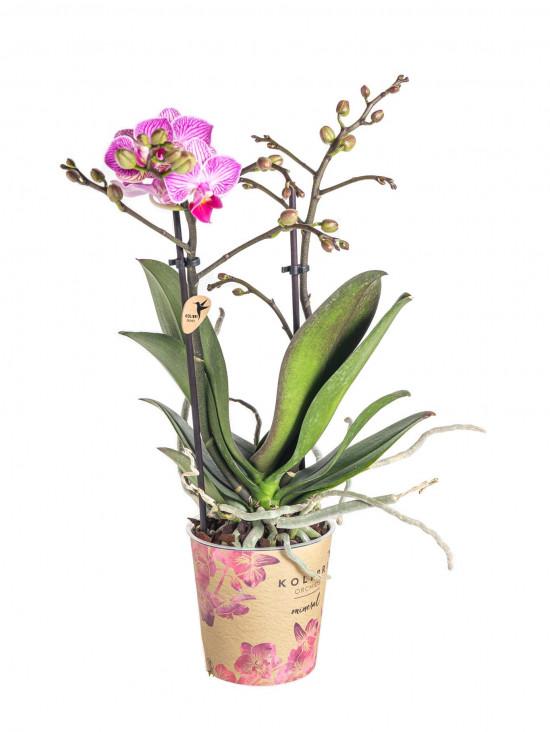 Orchidej Můrovec, Phalaenopsis Kolibri Luxembourg, 2 výhony, bílo - růžová-13785