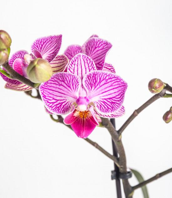 Orchidej Můrovec, Phalaenopsis Kolibri Luxembourg, 2 výhony, bílo - růžová-13786
