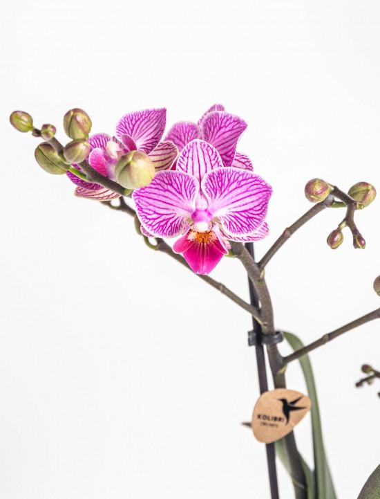 Orchidej Můrovec, Phalaenopsis Kolibri Luxembourg, 2 výhony, bílo - růžová-13787