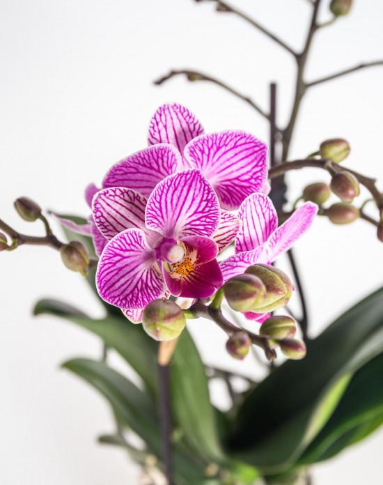 Orchidej Můrovec, Phalaenopsis Kolibri Luxembourg, 2 výhony, bílo - růžová-13788