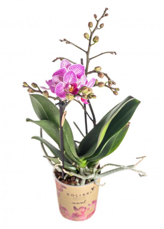 Orchidej Můrovec, Phalaenopsis Kolibri Luxembourg, 2 výhony, bílo - růžová-13789