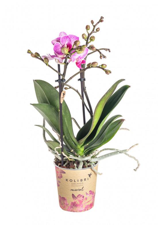 Orchidej Můrovec, Phalaenopsis Kolibri Luxembourg, 2 výhony, bílo - růžová-13790