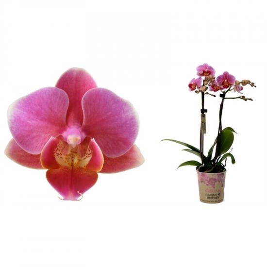 Orchidej Můrovec, Phalaenopsis Kolibri Luzern, 2 výhony, tmavě růžová