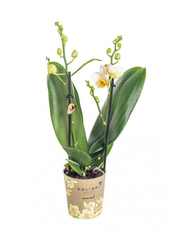 Orchidej Můrovec, Phalaenopsis Kolibri Mexico, 2 výhony, žlutá-11990