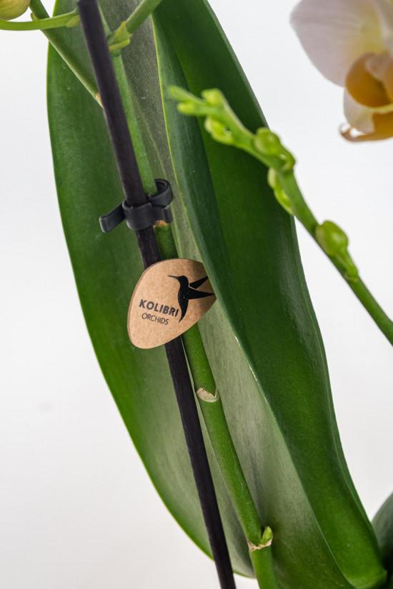 Orchidej Můrovec, Phalaenopsis Kolibri Mexico, 2 výhony, žlutá-11991