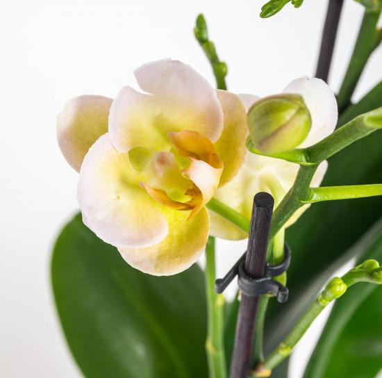 Orchidej Můrovec, Phalaenopsis Kolibri Mexico, 2 výhony, žlutá-11993