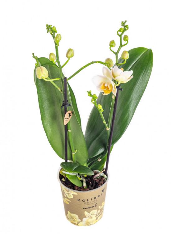 Orchidej Můrovec, Phalaenopsis Kolibri Mexico, 2 výhony, žlutá-11994