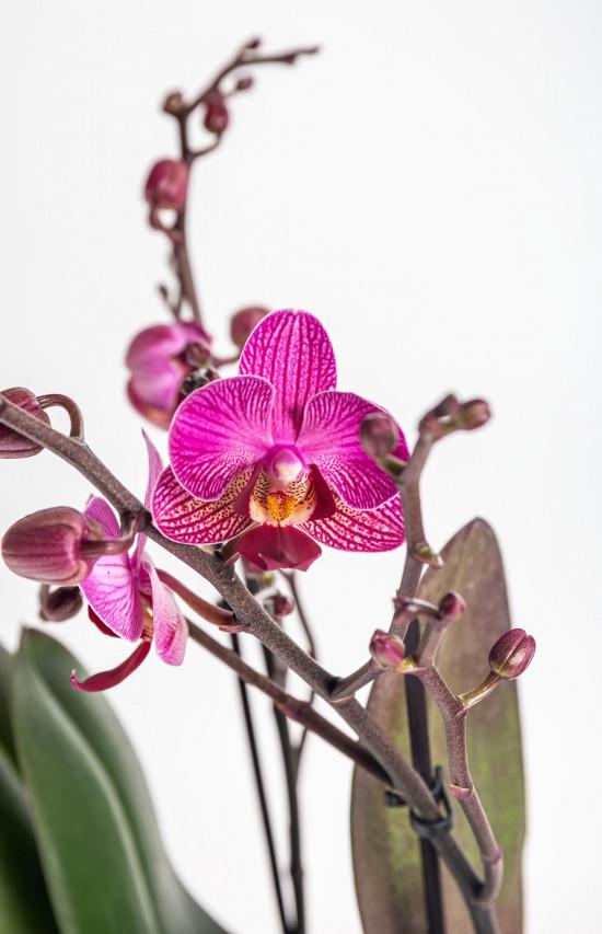 Orchidej Můrovec, Phalaenopsis Kolibri Moldavia, 2 výhony, fialová-13764