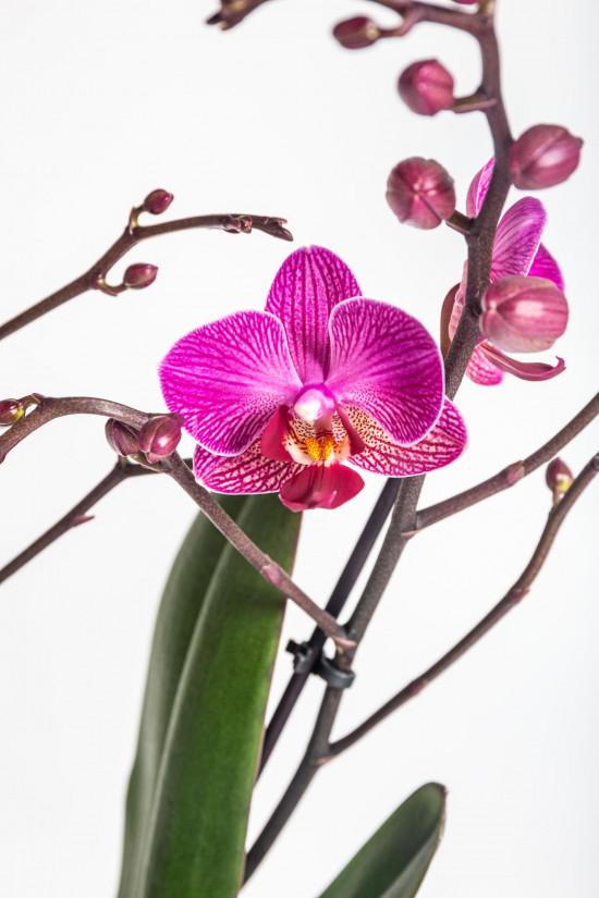 Orchidej Můrovec, Phalaenopsis Kolibri Moldavia, 2 výhony, fialová-13765