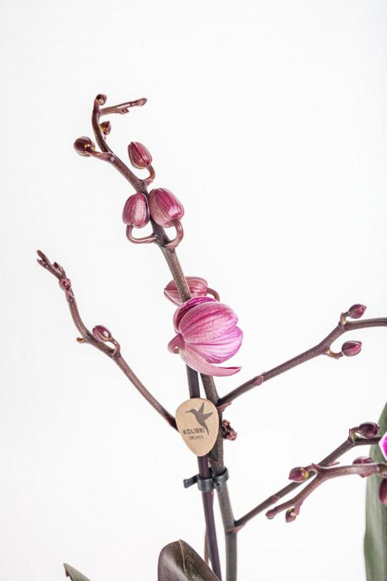 Orchidej Můrovec, Phalaenopsis Kolibri Moldavia, 2 výhony, fialová-13766