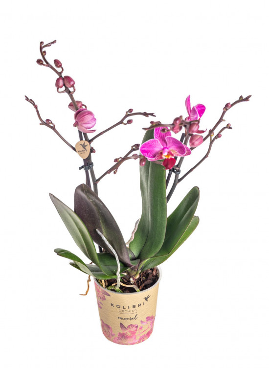 Orchidej Můrovec, Phalaenopsis Kolibri Moldavia, 2 výhony, fialová-13767