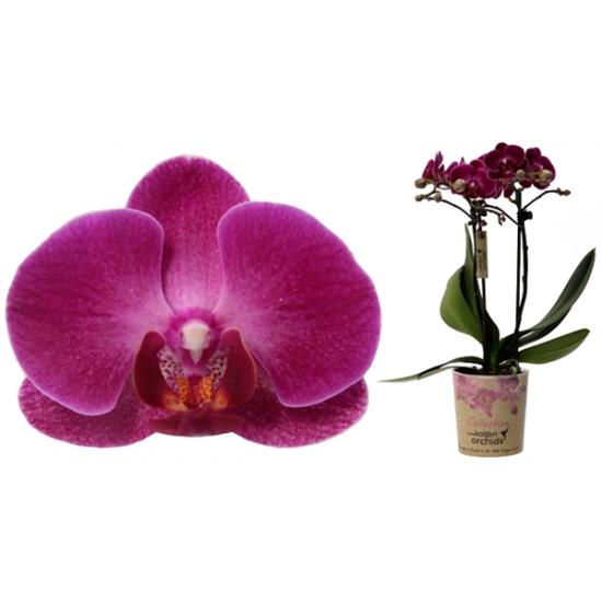 Orchidej Můrovec, Phalaenopsis Kolibri Morelia, 2 výhony, fialová-3426