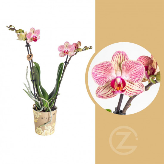 Orchidej Můrovec, Phalaenopsis Kolibri Nepal, 2 výhony, krémovo - růžová
