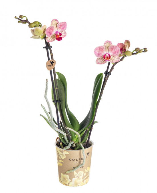 Orchidej Můrovec, Phalaenopsis Kolibri Nepal, 2 výhony, krémovo - růžová-13780