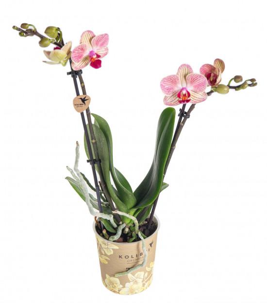 Orchidej Můrovec, Phalaenopsis Kolibri Nepal, 2 výhony, krémovo - růžová-13783