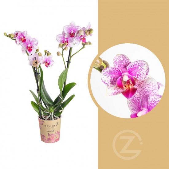 Orchidej Můrovec, Phalaenopsis Kolibri Rotterdam, 2 výhony, bílo - růžová
