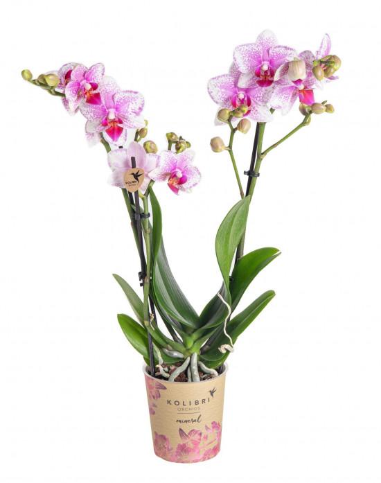 Orchidej Můrovec, Phalaenopsis Kolibri Rotterdam, 2 výhony, bílo - růžová-13769