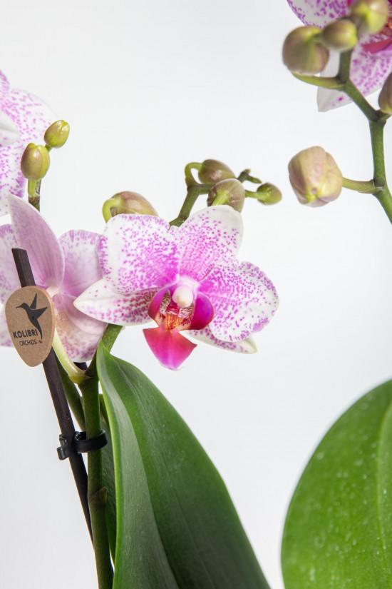 Orchidej Můrovec, Phalaenopsis Kolibri Rotterdam, 2 výhony, bílo - růžová-13770
