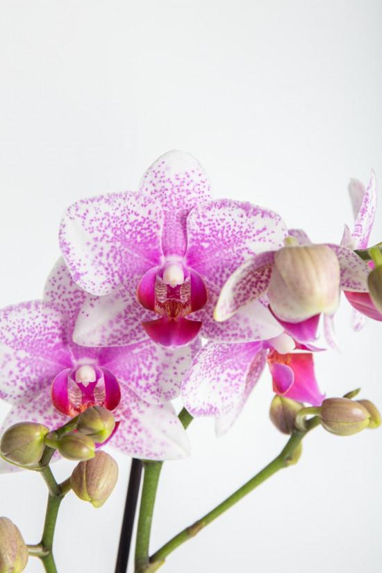Orchidej Můrovec, Phalaenopsis Kolibri Rotterdam, 2 výhony, bílo - růžová-13771