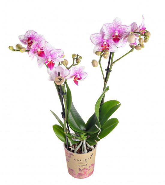 Orchidej Můrovec, Phalaenopsis Kolibri Rotterdam, 2 výhony, bílo - růžová-13772